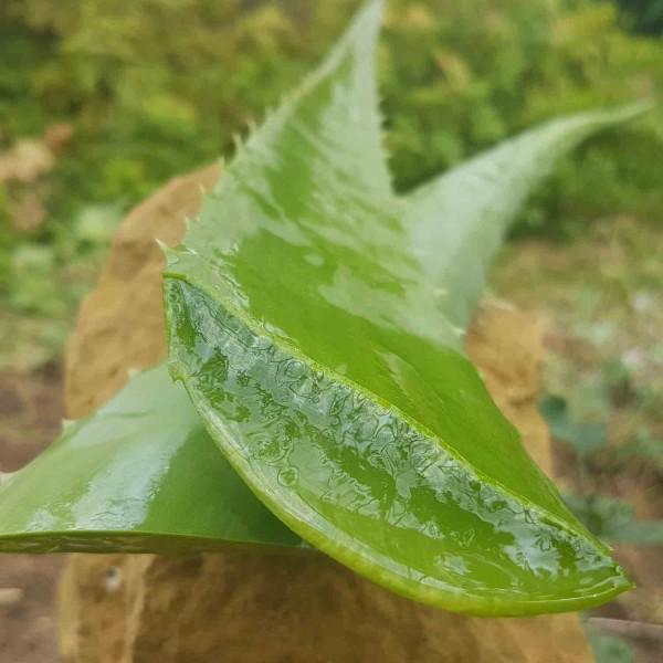 Bio Aloe Vera Blätter frisch
