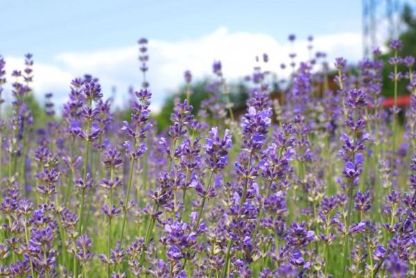 Lavendel Bio Kräuter-Urtinktur Lavandula angustifolia