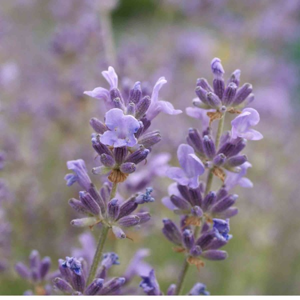 Ätherisches Öl Lavendel Super